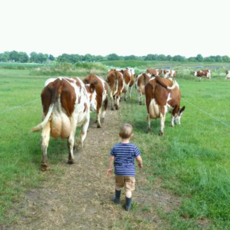 Koeien wegbrengen